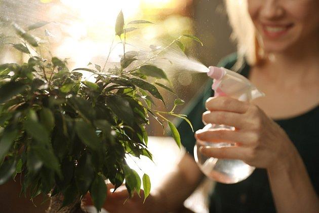 Hnojit fíkusy byste měli nejlépe plnými hnojivy, a to po celý rok. Postačí