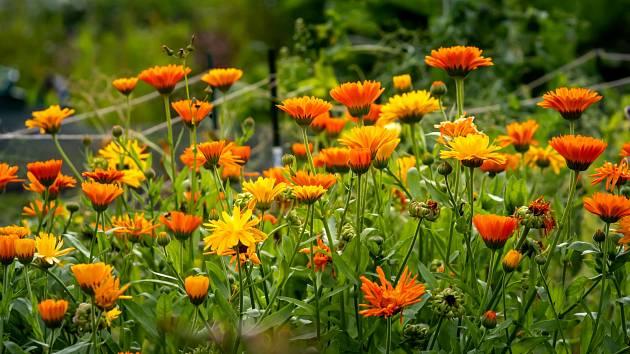 Měsíček lékařský (Calendula officinalis) je původem z oblastí jižní Evropy.