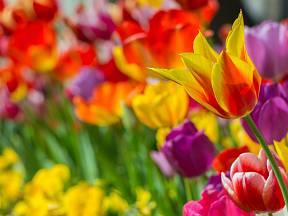 Původní botanické druhy tulipánů pocházejí z oblastí západní a střední Asie.