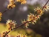 Vilíny rozkvétají v zimních měsících.