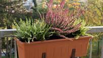 Vřesy můžeme pěstovat venku i v nádobách.