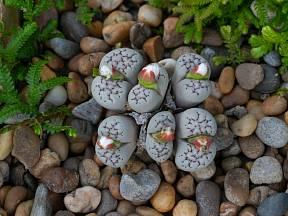 Jak pěstovat živé kameny