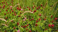 Atraktivně v louce působí červeně kvetoucí jetel inkarnát.