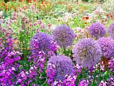 Fialově kvetoucí okrasné česneky.