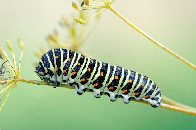 housenka otakárka fenyklového (Papilio machaon)