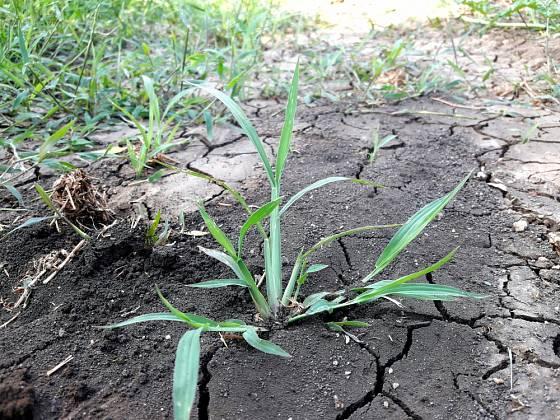 Ježatka kuří noha (Echinochloa crus-galli) bývá považována za jeden z nejhorších plevelů na světě.