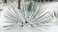 Mrazuvzdorné juky dobře snášejí silnější mrazy. Suchý sníh jim nevadí, mokro již více