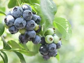 Kdo by nechtěl jedlý živý plot, jehož plody můžete sbírat celé léto