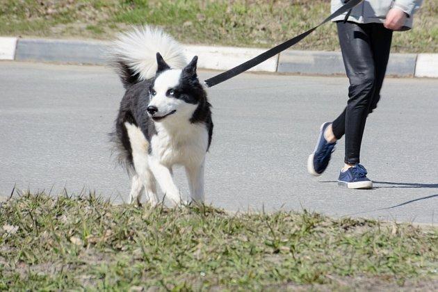 Karelský medvědí pes je vhodný spíše pro zkušené chovatele.