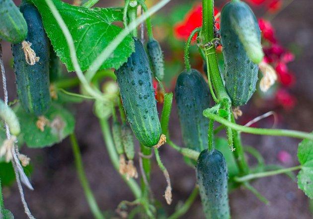 Okurky potřebují k růstu světlé místo, vhodnou úrodnou půdu a dostatek vláhy.