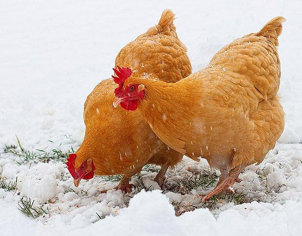Pokud není arktický mráz, slepice není třeba držet v kurníku