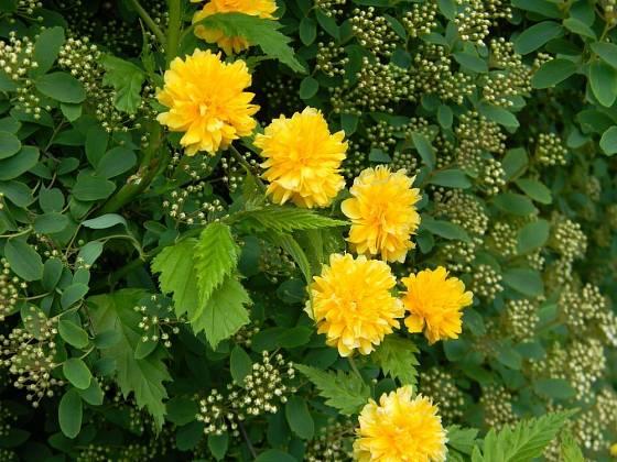 zákula, kérie japonská (Kerria japonica)