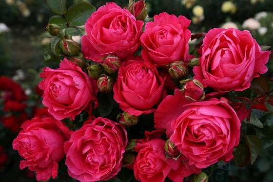Třešňově červená růže Cherry Lady