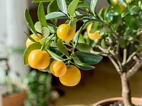 Mnoho z nás už jistě někdy napadlo vypěstovat si nějakou exotickou rostlinu, třeba takový citronovník