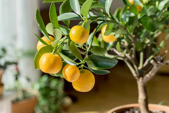 Citrusy v květináče ochotně plodí, pokud mají vhodný substrát, zálivku, teplotu, hnojení a osvětlení