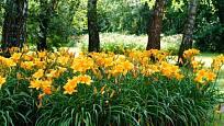 Nenáročné denivky můžeme pěstovat i v polostínu