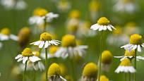 nenáročný heřmánek je jednou z nejuniverzálnějších léčivých rostlin