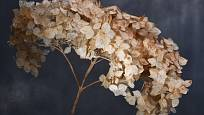 Květenství hortenzie je krásné i poté, co uschne