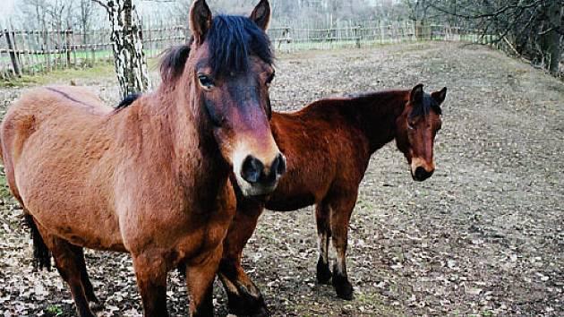 Huculský kůň