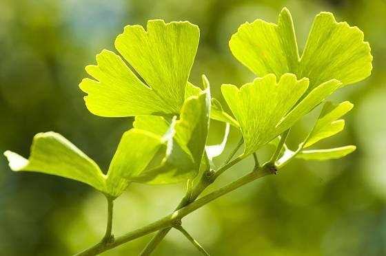 Listy jinanu dvoulaločného (Ginkgo biloba)