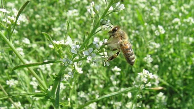 Kvetoucí řeřicha láká včely