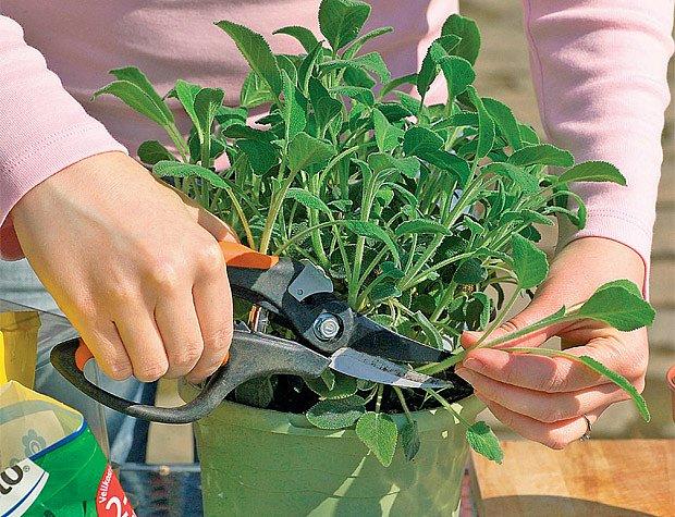 Ze zdravé mateřské rostliny odebereme několik silných výhonů