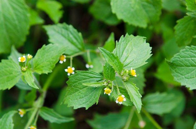 pěťour maloúborný (Galinsoga parviflora)