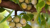 Plody jinanu dvoulaločného
