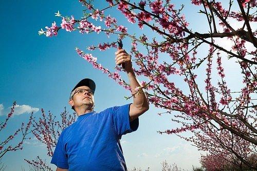 Kvete v období od března do května výraznými bílo-růžovo-červenými květy.
