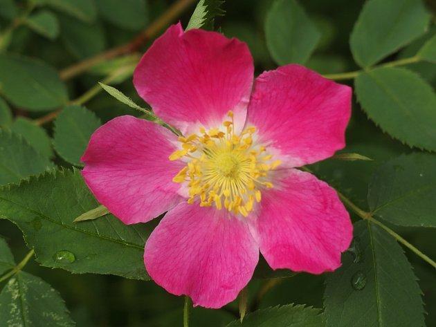 Rosa x pruhoniciana