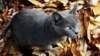 Ruská modrá kočka.