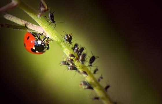 Slunéčka i jejich larvy spořádají ohromné množství mšic