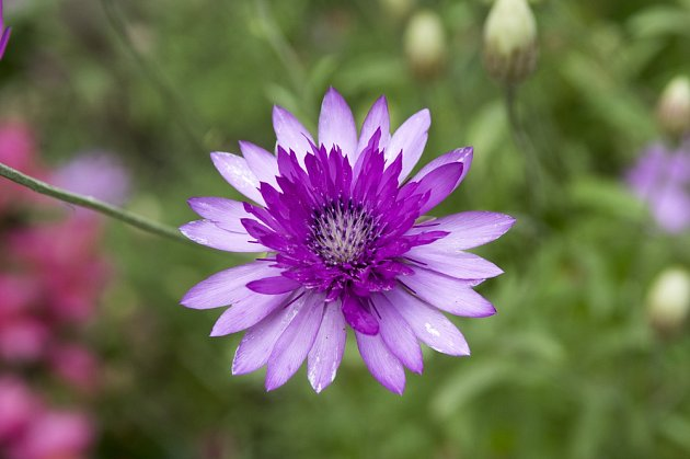 Detail květu suchokvětu ročního (Xeranthemum annuum).