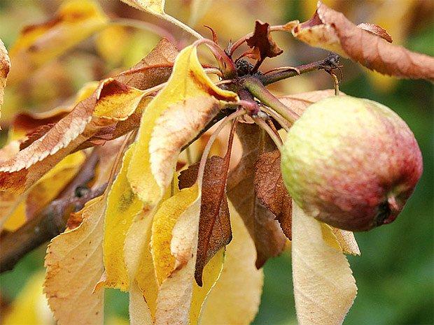 Uschlé větve i s plody.