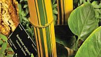 Bambusa vulgaris má nádhernou barvu stvolů