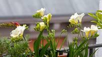 Frézie můžeme pěstovat v truhlíku na balkoně, v zimní zahradě nebo venku na záhoně.