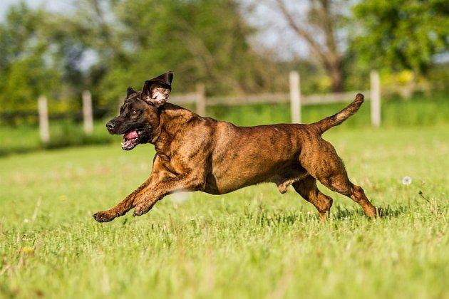 Hannoverský barvář je aktivní, energický, bystrý a inteligentní pes.
