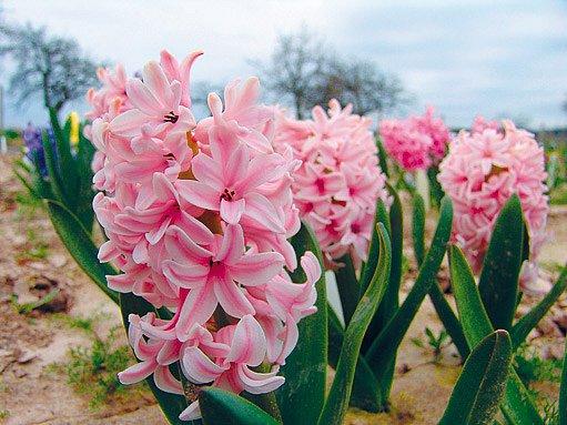 Hyacint Anna Marie