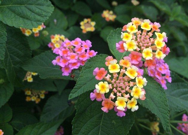 Proměnlivost květů je pouze jedním z plusů těchto rostlin.