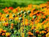 Mák můžeme pěstovat v zahradě i pro sklizeň dekorativních makovic.