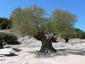 Olivovník evropský (Olea europaea) se dožívá úctyhodného stáří.