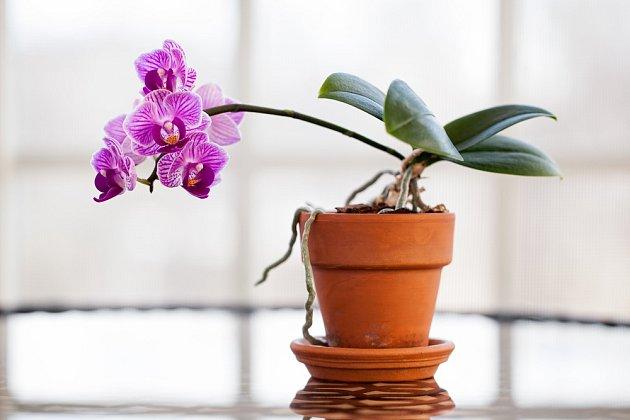 Vyšlechtěným orchidejím se dobře daří i v bytech.