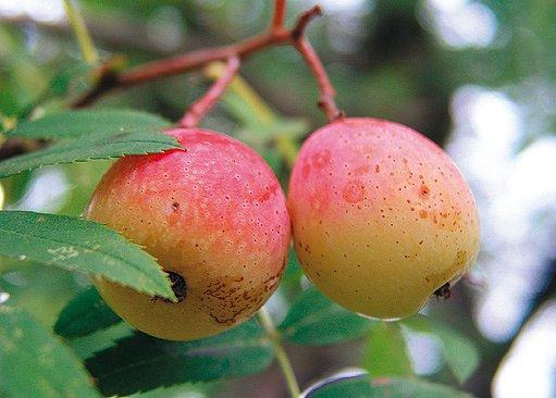 plody oskeruše