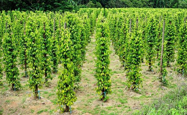 Pepř, který neroste ve volné přírodě, připomíná pěstování chmele.