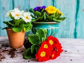 Petrklíče, příznačně prvosenky jarní, jsou poslíčky jara