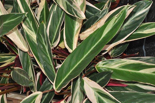 Stromanthe thalia tricolor