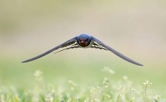 Vlaštovky loví letu, vysoko i nízko nad zemí