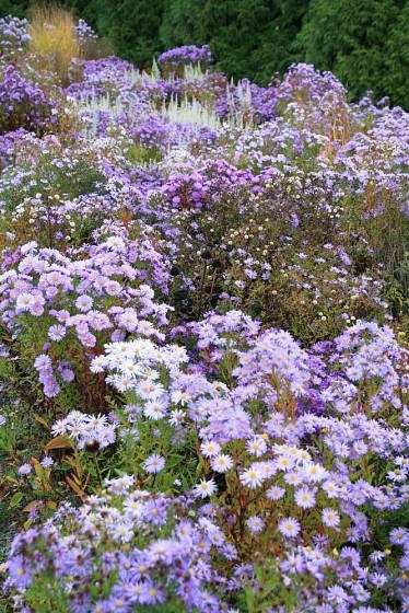 Hvězdnice křovitá (Aster dumosus) v trvalkové směsi Rozkvetlá sezóna, Dendrologická zahrada Průhonice