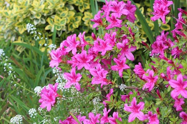 Purpurové květy nabízí kultivar azalky japonské Purple Splendor.