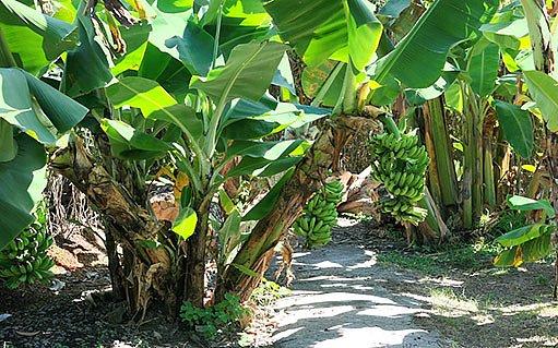 banánový háj